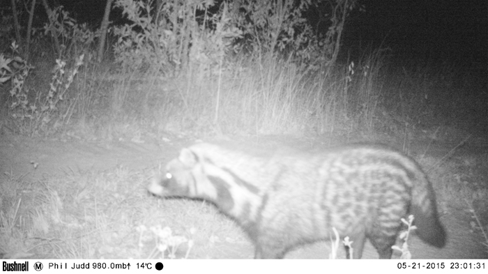 Camera Trap Civet