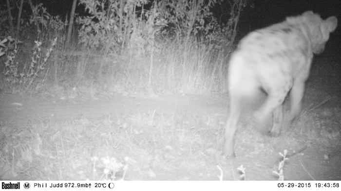 Camera trap Hyena