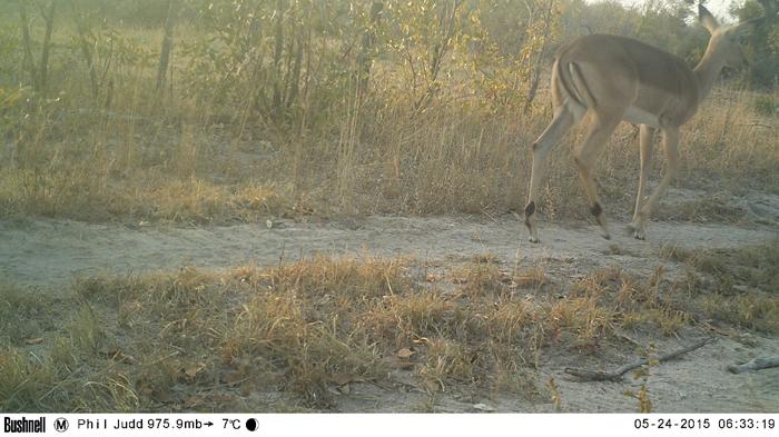 Camera Trap Impala