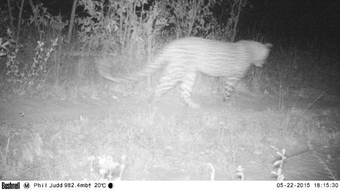 Camera Trap Leopard