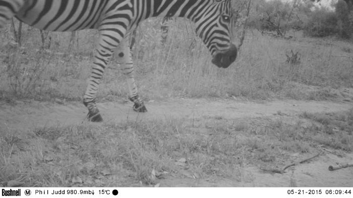 Camera Trap Zebra