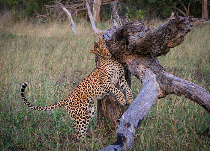 The following day Tamboti was feeding in a tree in the Maxabene. We watched her for a long time, and then saw her check the surrounding area before she came down the tree for some sleep, always keeping an eye on her prize.