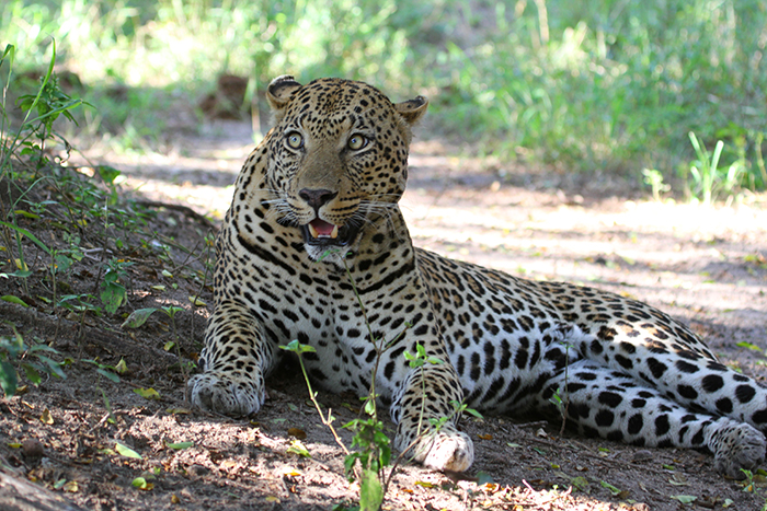 The Tamboti female is beautiful leopard, one that we'd seen with two little cubs at our last visit in 2013. One afternoon we found her patrolling her territory, scent-marking as she went.