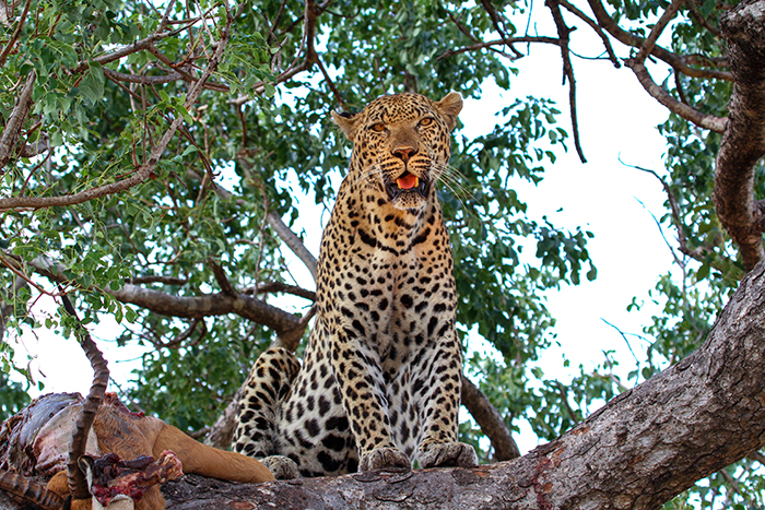 We waited patiently until he awoke, curious and with a full belly…a handsome leopard with golden eyes!