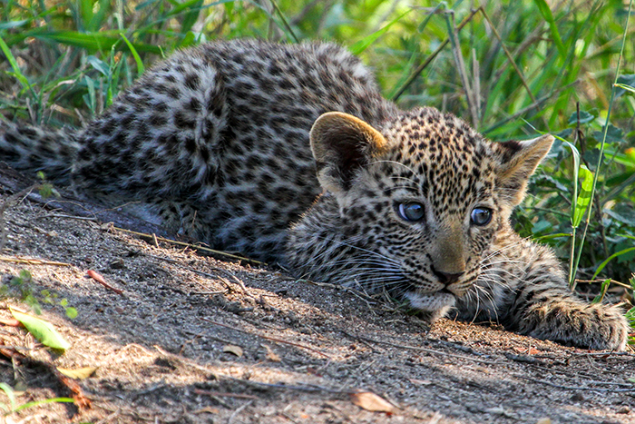 Nanga's cub is already well habituated to the vehicles allowing us great photographic opportunities.