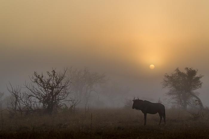 Wilderbeest sunrise