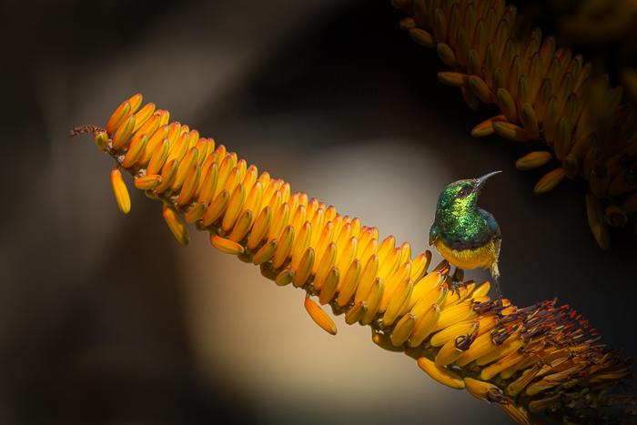 Collard sunbird