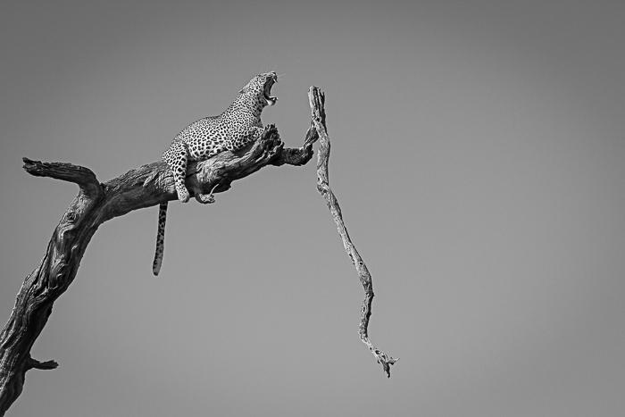 LeadwoodLeopard