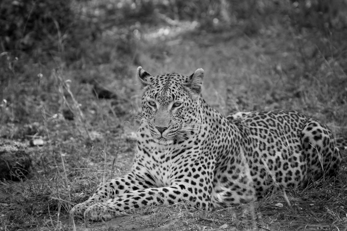 Andrea-Campbell-Tutlwa-Female-Leopard