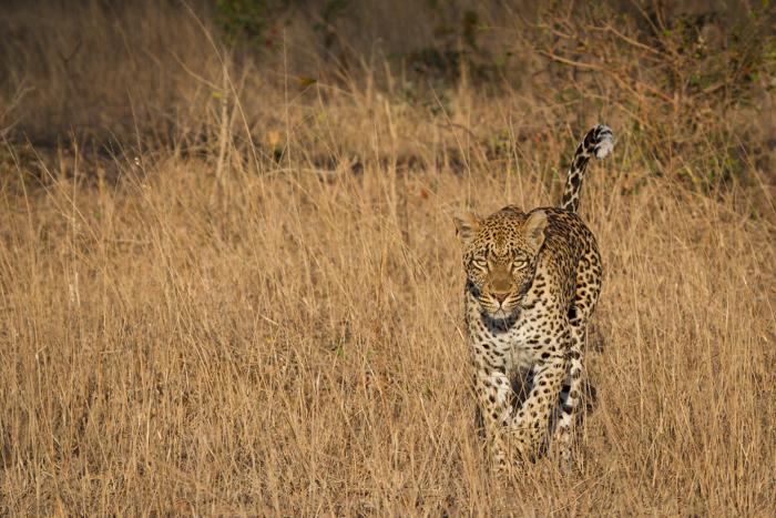 Andrea-Campbell-Tamboti-Female-Leopard