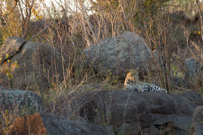 Andrea-Campbell-Maliliwane-Young-Female-Leopard