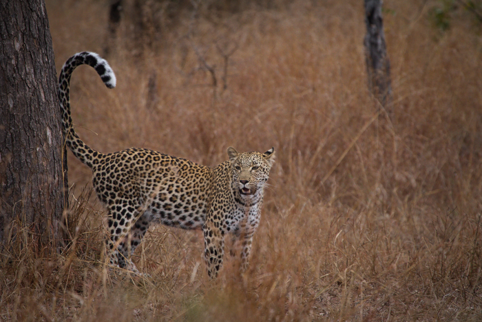 Andrea-Campbell-Little-Bush-Young-Female-Leopard