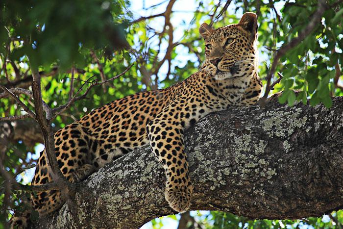 Tutlwa Female Leopard Lying in Tree by Rich Laburn