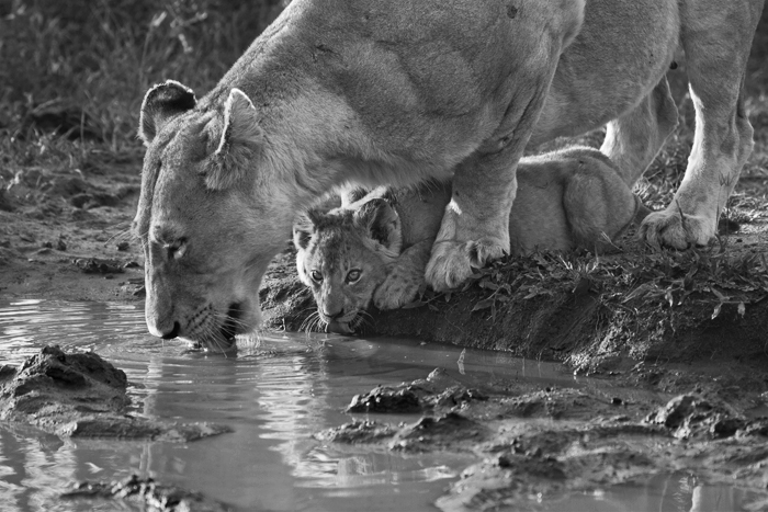 A young lion cub drinks from the safe protective covering of its mother. I'm sure at this age, the cub believes there is no safer place in the world. 1/400 @f7,1; ISO640