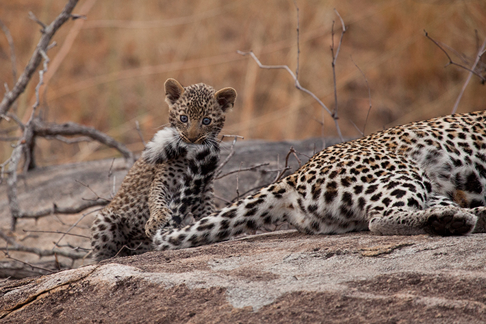 The cub practices its killing skills on his mom's flicking tail. Being the only cub in the litter, it was always full of pent up energy by the time its mother came home and it would use her as its play toy. It was incredible to see how patient she was with this bundle of energy.