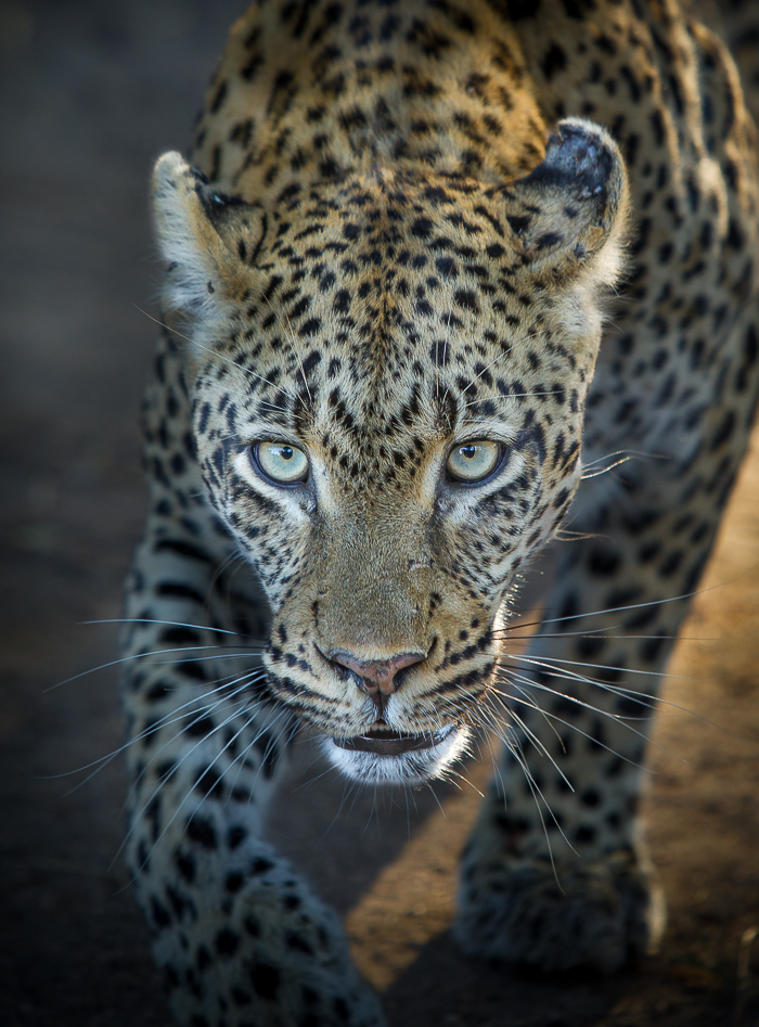 The piercing stare of the Tamboti female. ISO 800 F/2.8 1/400. Photographed by Erin Bezuidenhout
