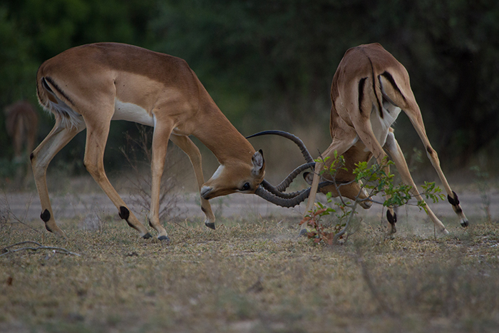 The impala rutting (mating) season has seen its climax, with the exception of a few (more persistent) males still trying their luck. Males assert their dominance in territorial disputes allowing them to pass on their genes for future generations. 1/1000, f5.6, ISO 800
