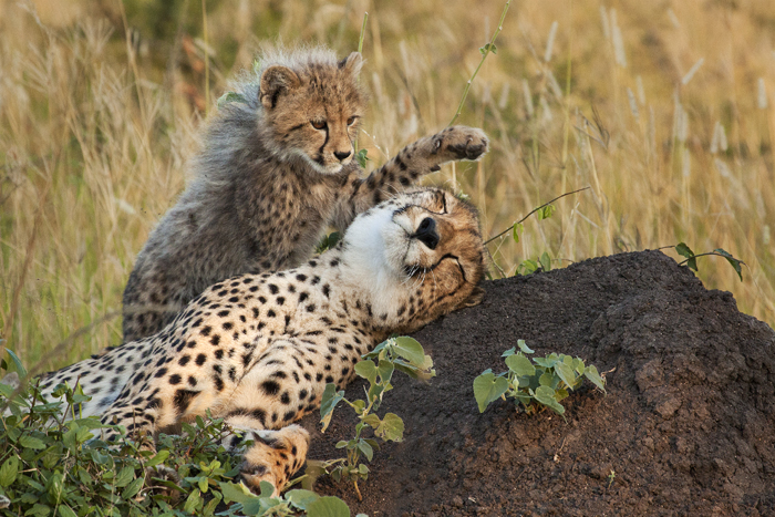 A cheetah cub decides that its mother has rested enough for the day, apparently its time to play. 1/500 @f8; ISO 1250