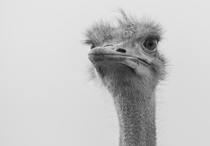 Ostrich (1)