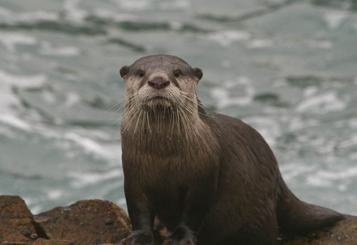 Cape-clawless-otter-sanparks.org-2725530204_02f0580412_o