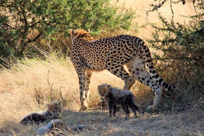 Cheetah-and-the-three-surviving-cubs