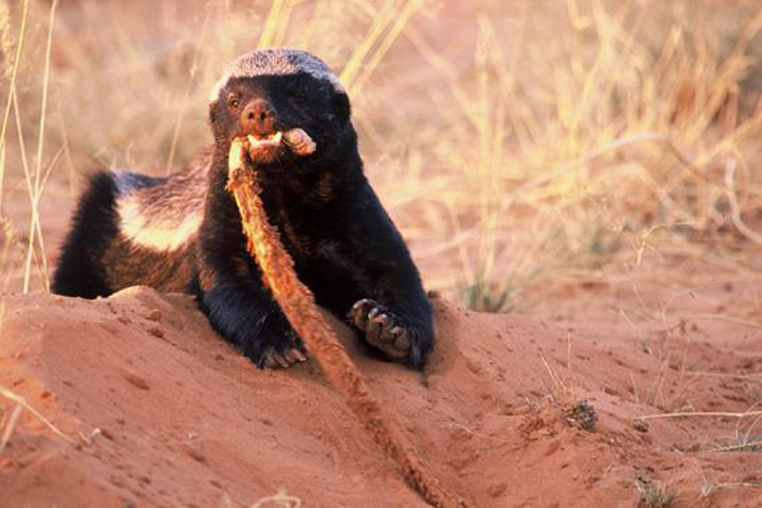 The Honey Badger What You Didnt Know About Worlds Most Fearless