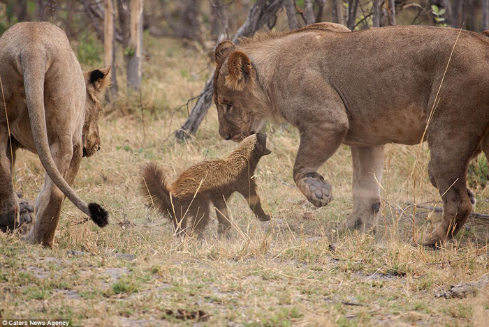 235CCE8800000578-0-Get_back_The_honey_badger_lunches_at_one_of_the_lions_cubs_after-7_1416581057274