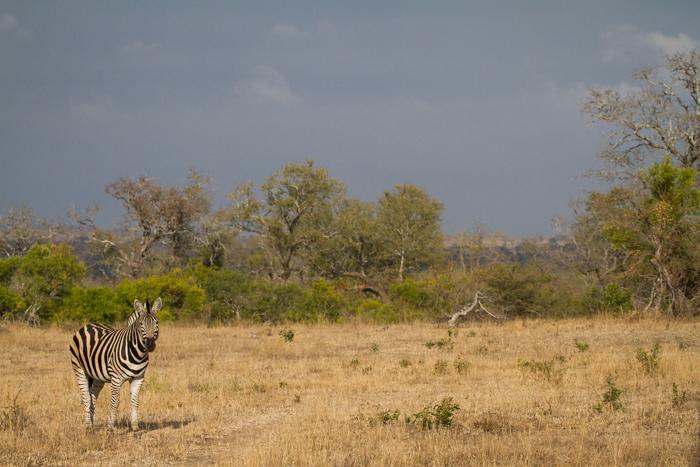 Andrea-Campbell-Zebra