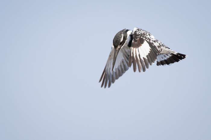 Andrea-Campbell-Pied-Kingfisher