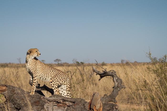 Andrea-Campbell-cheetah