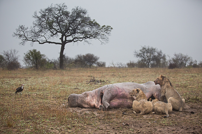 Lions_Hippo