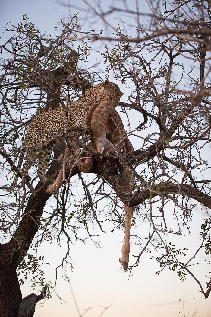 Anderson_Giraffe_Carcass