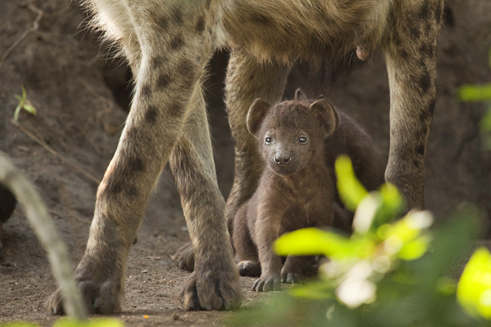 A-young-hyena-rests-after-suckling-from-its-mother.-Amy-captures-the-young-pup-framed-between-its-mother's-legs.