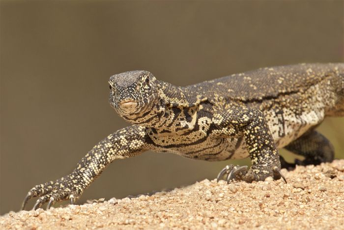 A-water-monitor-moves-about-in-the-early-morning-sun