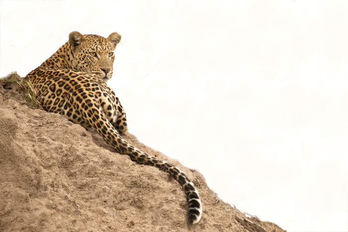 A-beautiful-shot-of-a-female-leopard-resting-on-a-termite-mound