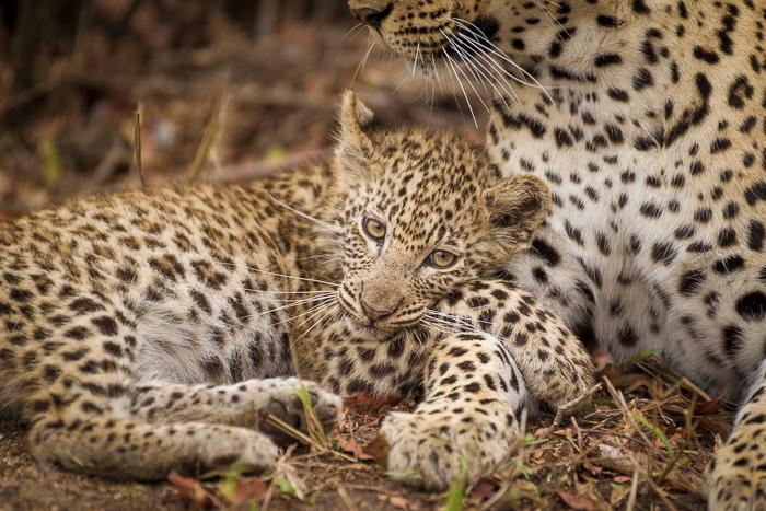 mashaba female cub