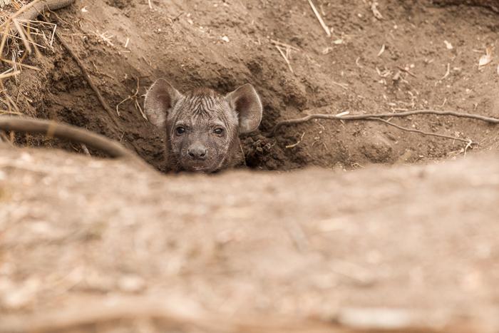 baby hyena2