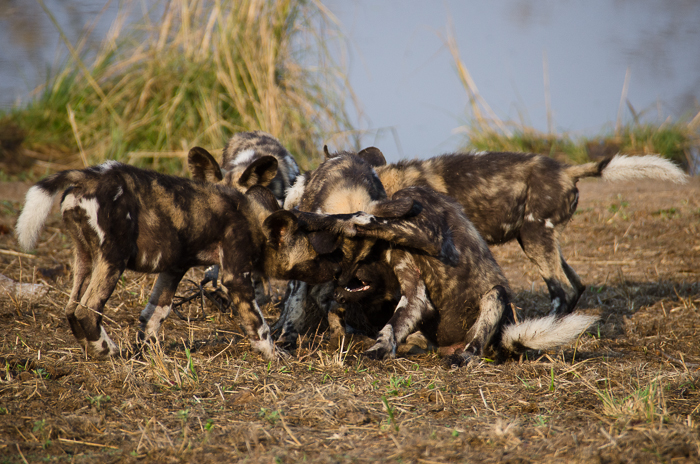Wild dog pups. Kevin Power