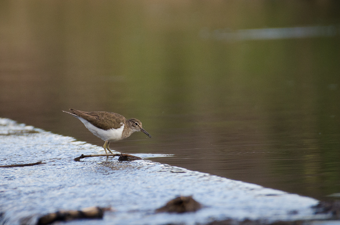 Common sandpiper. Kevin Power