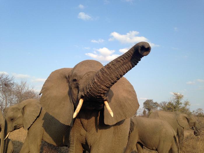 Andrea-Campbell-Iphone-Elephant-Standoff