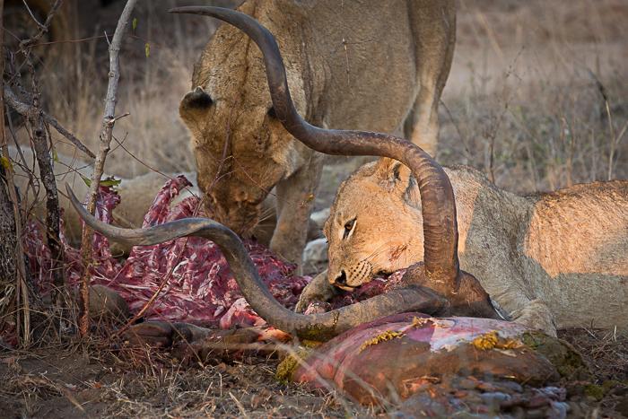 Kudu Kill