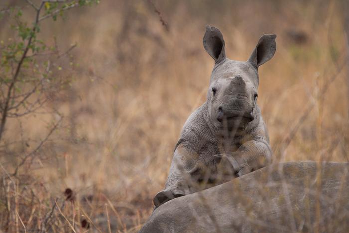 Andrea-Campbell-Rhino-Calf