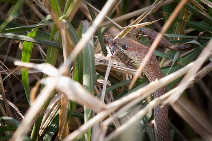 Andrea-Campbell-Olive-Grass-Snake-frog-kill