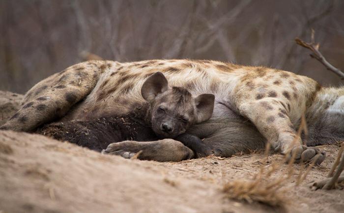 Andrea-Campbell-hyena-cub