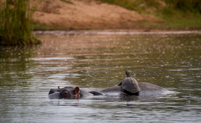 Andrea-Campbell-Hippo-and-terrapin