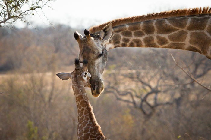 Andrea-Campbell-Giraffe-and-calf