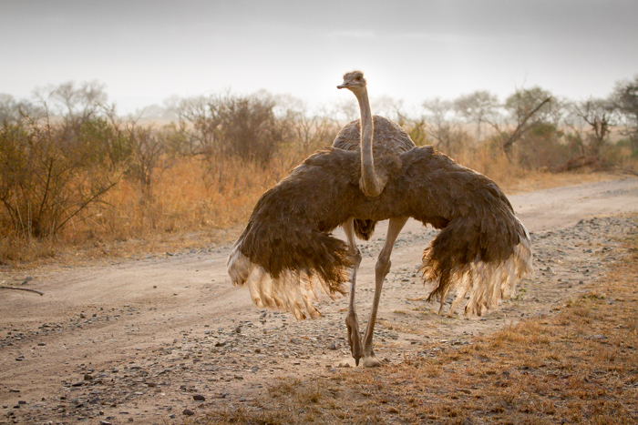 Andrea-Campbell-backlit-ostrich