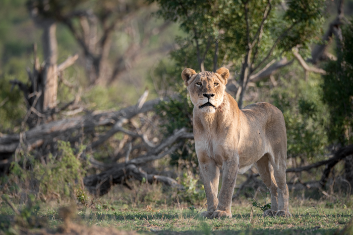 tsalala lioness after mating with marimba male, sept 2015