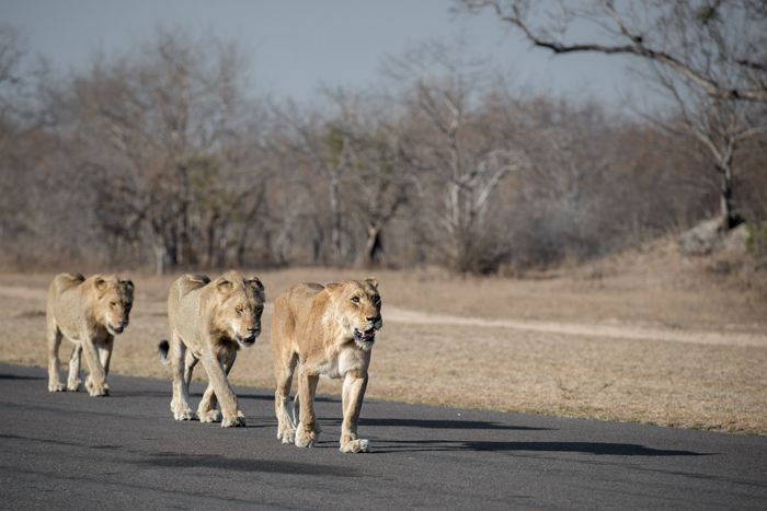 Tailless female leading the tsalala pride, sept 2015