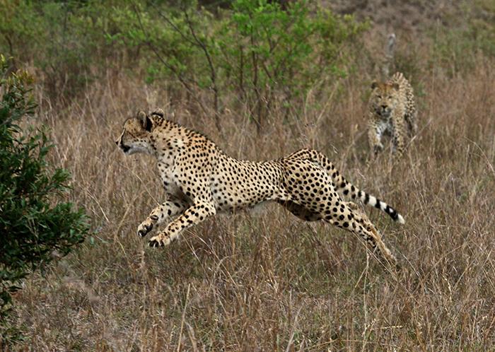 Makotini Chasing Cheetah